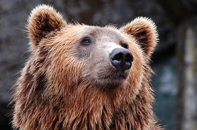 Что общего у берлоги, медведей и Берлина?